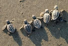 Image result for loggerhead sea turtle