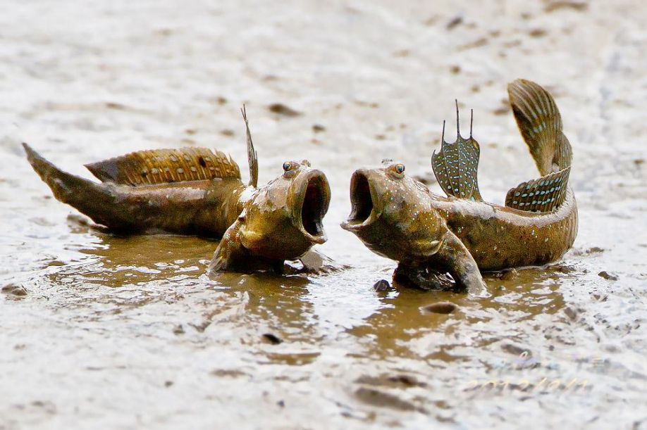 Image result for mudskipper